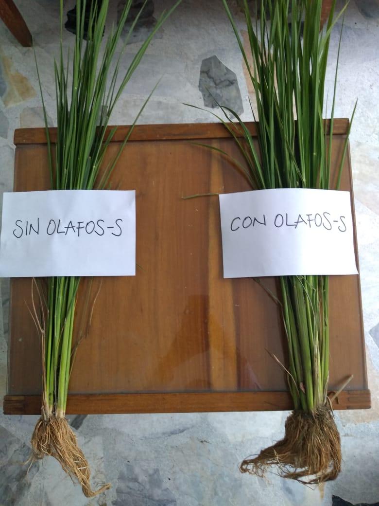 OLAFOS - S Vs. Tradicionales
